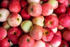 Czerwony świeży jabłka tło Pojęcie jesieni żniwo zdjęcie royalty free