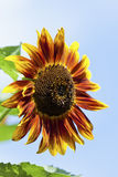 Czerwony żółty słonecznik przeciw niebieskiemu niebu, zamyka up Obrazy Stock