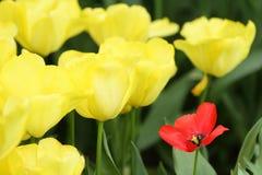 Czerwony żółty tulipanowy zbliżenie Zdjęcia Stock