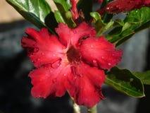 czerwony adenium fotografia royalty free