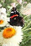 Czerwony Admiral motyl Fotografia Stock