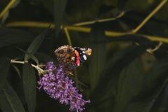 Czerwony Admiral motyl obrazy stock