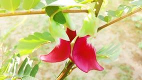 Czerwony Agasta kwiat lub Sesban kwiat, warzywo nuci ptasiego flowe Obrazy Royalty Free