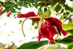 Czerwony agasta na drzewie Zdjęcia Stock