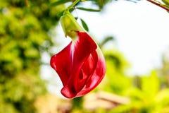Czerwony agasta na drzewie Fotografia Royalty Free