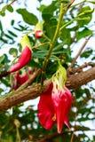 Czerwony agasta na drzewie Zdjęcie Stock