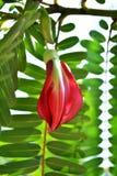Czerwony Agasta Sesbania Zdjęcie Stock