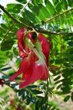 Czerwony Agasta Sesbania Fotografia Stock