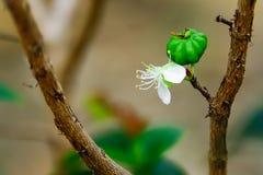 Czerwony agrest jest uprawianym ornamentacyjnym rośliną Zdjęcia Stock