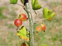 Czerwony agrest na krzaku rozgałęzia się w ogródzie, Lithuania Zdjęcie Royalty Free