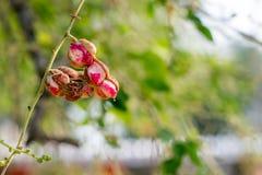 Czerwony agrestowy tamarine Obraz Stock