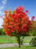 Czerwony akacjowy drzewo obrazy royalty free
