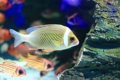 Czerwony żakiet Squirrellfish Zdjęcie Royalty Free