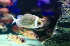 Czerwony żakiet Squirrellfish Zdjęcia Stock