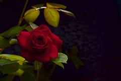 Czerwony aksamit wzrastał Zdjęcia Royalty Free