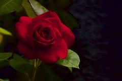 Czerwony aksamit wzrastał Obrazy Royalty Free