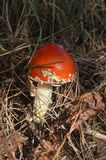 Czerwony Amanita pieczarki dorośnięcie na mech w lesie obrazy stock
