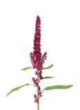 Czerwony amarant (Amaranthus cruentus) zdjęcia royalty free