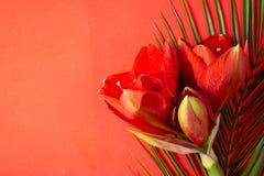 Czerwony amarylek kwitnie na jaskrawym czerwieni i zieleni tle zdjęcia royalty free