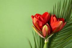 Czerwony amarylek kwitnie na jaskrawym czerwieni i zieleni tle fotografia stock