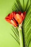 Czerwony amarylek kwitnie na jaskrawym czerwieni i zieleni tle obraz royalty free