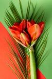 Czerwony amarylek kwitnie na jaskrawym czerwieni i zieleni tle zdjęcie stock