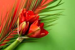 Czerwony amarylek kwitnie na jaskrawym czerwieni i zieleni tle obrazy stock