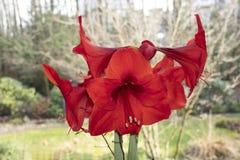Czerwony amarylek z białym tłem zdjęcie royalty free