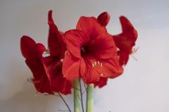 Czerwony amarylek z białym tłem obrazy royalty free