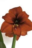 Czerwony amarylka kwiat zdjęcie stock