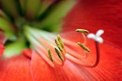 Czerwony amarylka kwiat makro- Zdjęcia Royalty Free