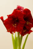 Czerwony Amaryllis bożych narodzeń kwiat Obrazy Royalty Free