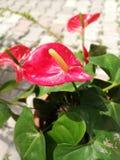Czerwony anthurium andraenum zakończenie up Obrazy Royalty Free