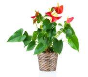 Czerwony anthurium kwiat Zdjęcia Stock