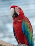 Czerwony ary papugi stojak na gałąź Obraz Royalty Free