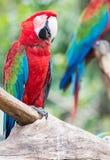 Czerwony ary papugi stojak na gałąź Fotografia Royalty Free