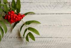 Czerwony ashberry na białym tle Fotografia Royalty Free