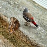 Czerwony avadavat, czerwony munia lub truskawki finch, (Amandava amandava obraz stock
