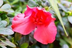 czerwony azalia kwiat w ogródzie Obraz Stock