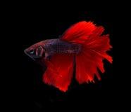 Czerwony błękitny siamese bój ryba halfmoon, betta ryba odizolowywająca dalej zdjęcia stock