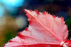Czerwony błyszczący liść Zdjęcia Stock