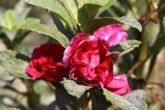 Czerwony Balsam Kwitnie Impatiens Balsamina Linn fotografia royalty free