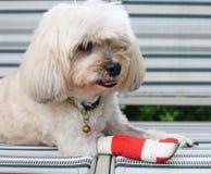Czerwony bandaż na zdradzonej nodze Shih Tzu Fotografia Royalty Free