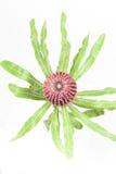 Czerwony banksia kwiat obraz royalty free