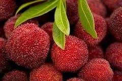 Czerwony bayberry Zdjęcie Stock
