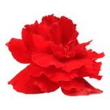 Czerwony begonia kwiat Odizolowywający na Białym tle Zdjęcia Royalty Free