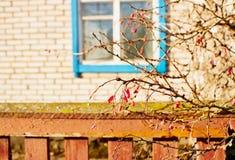 Czerwony berberys pospolity Fotografia Royalty Free