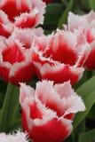 Czerwony biały tulipanowy zbliżenie Obraz Stock