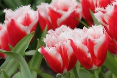 Czerwony biały tulipanowy zbliżenie Zdjęcie Royalty Free