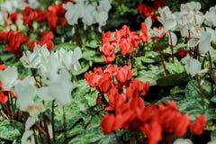 czerwony białe kwiaty Obrazy Royalty Free